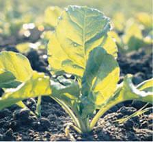 Beet crop plant