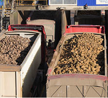 transported sugar beet