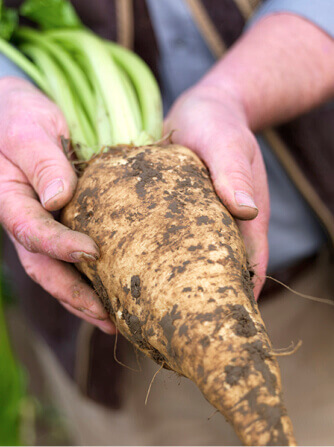 Sugar beet in farmer's hands